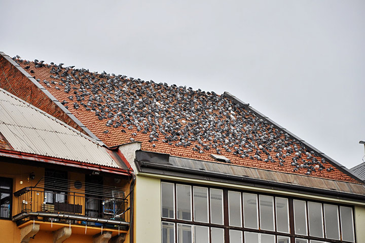 A2B Pest Control are able to install spikes to deter birds from roofs in Grays.